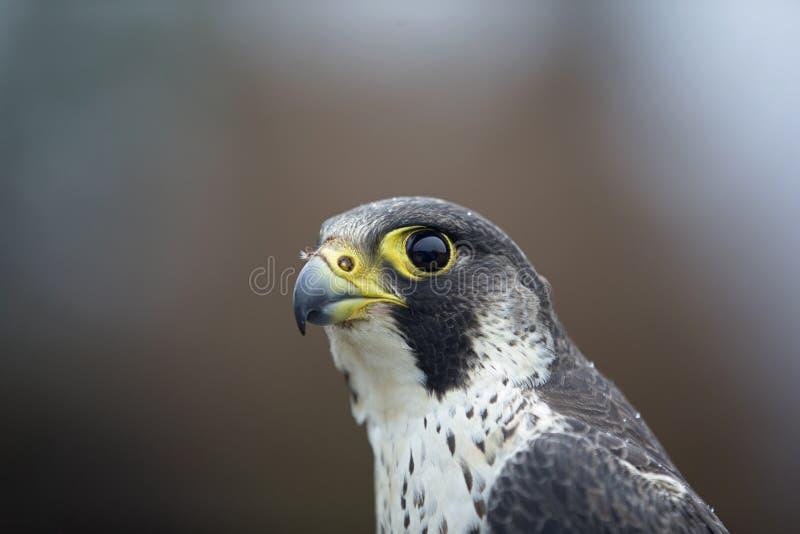 Портрет женского peregrinus Falco сапсана уловленного в Германии для звенеть стоковые изображения rf