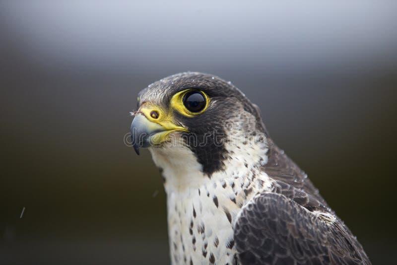 Портрет женского peregrinus Falco сапсана уловленного в Германии для звенеть стоковое изображение