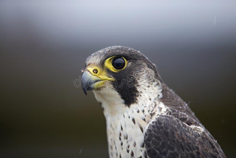 Портрет женского peregrinus Falco сапсана уловленного в Германии для звенеть стоковое фото rf