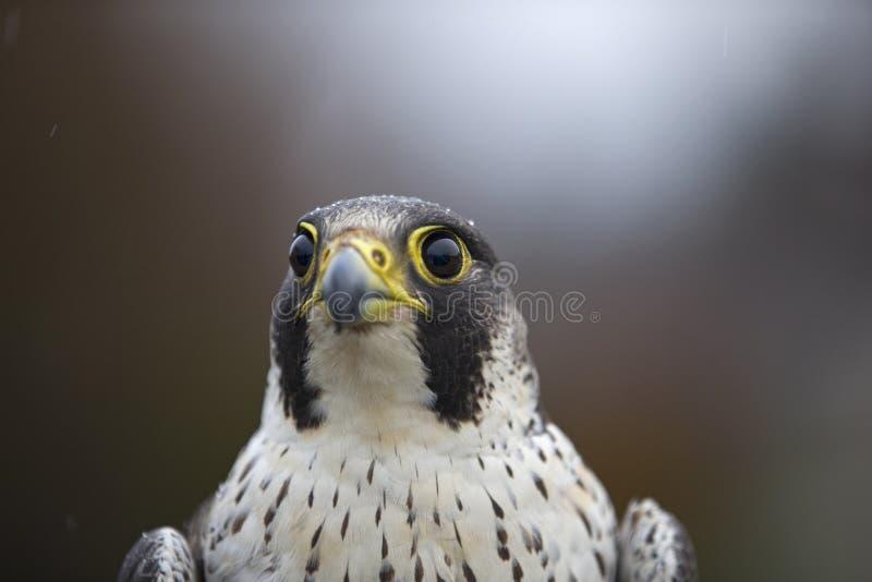 Портрет женского peregrinus Falco сапсана уловленного в Германии для звенеть стоковые фото