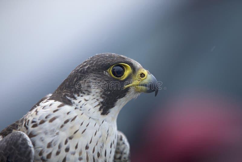 Портрет женского peregrinus Falco сапсана уловленного в Германии для звенеть стоковые изображения
