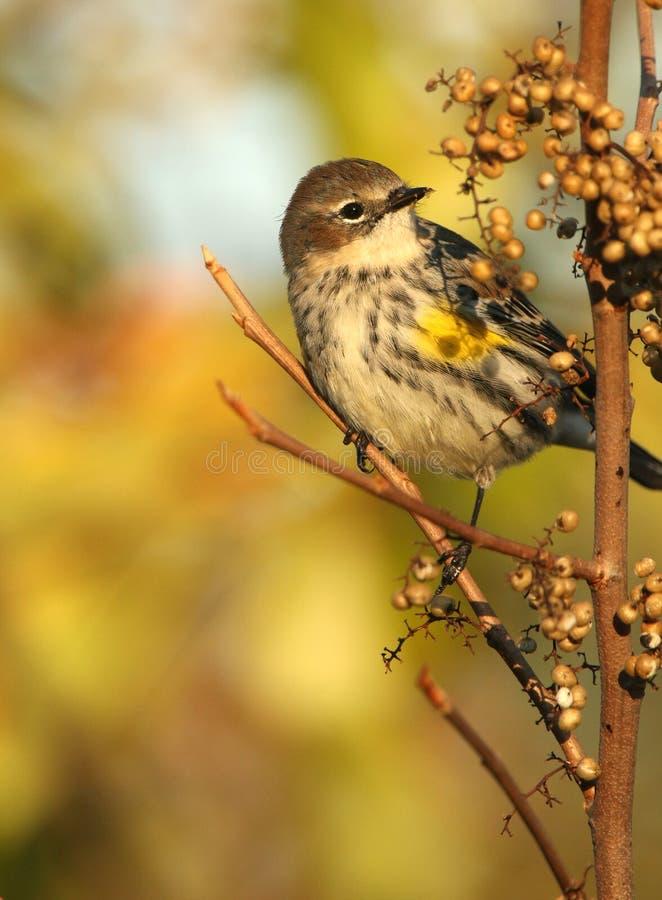 Портрет женской желтой-Rumped певчей птицы стоковое фото rf