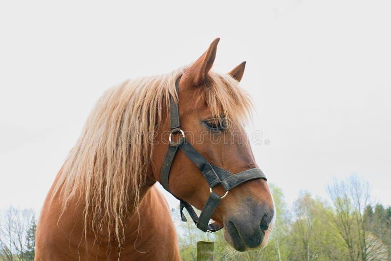 Портрет жеребца каштана племенника Ферма лошади Head стоковые фотографии rf
