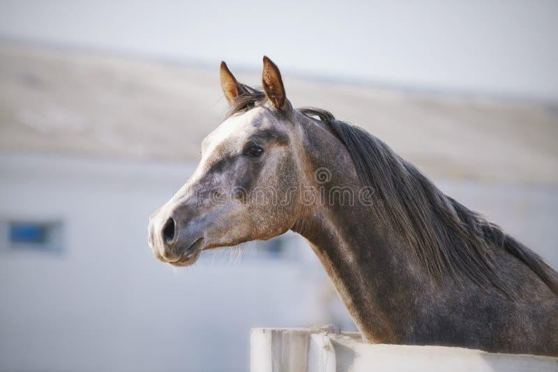 Портрет жеребца племенника спорт стоковая фотография rf