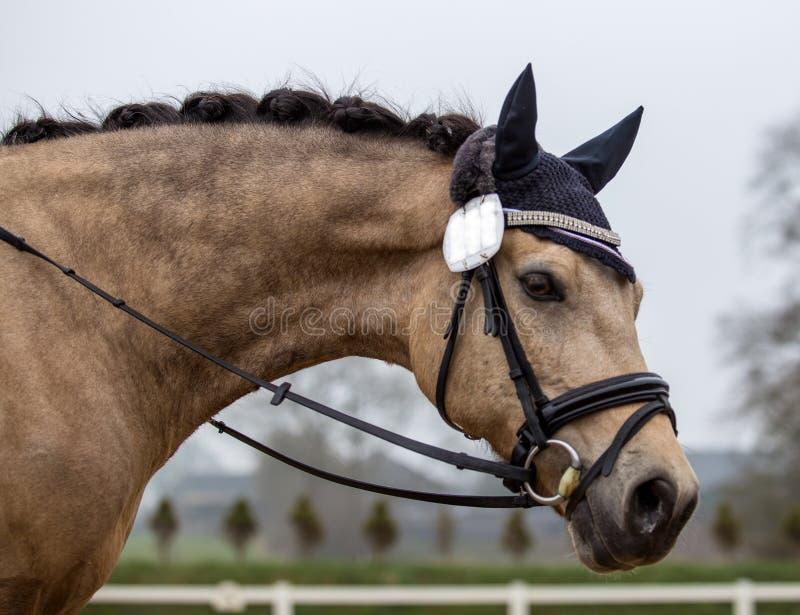 Портрет жеребца спорт Ехать на лошади Племенник h стоковые фотографии rf