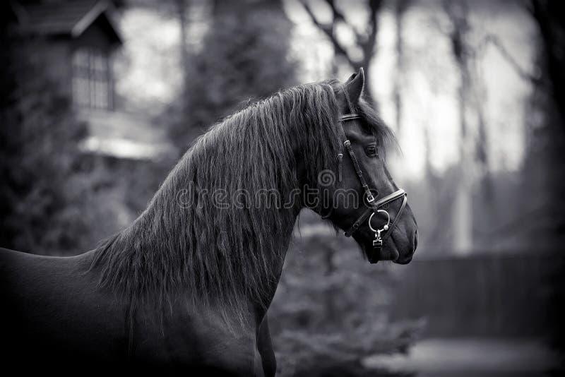 Портрет жеребца спорт черного стоковое изображение rf