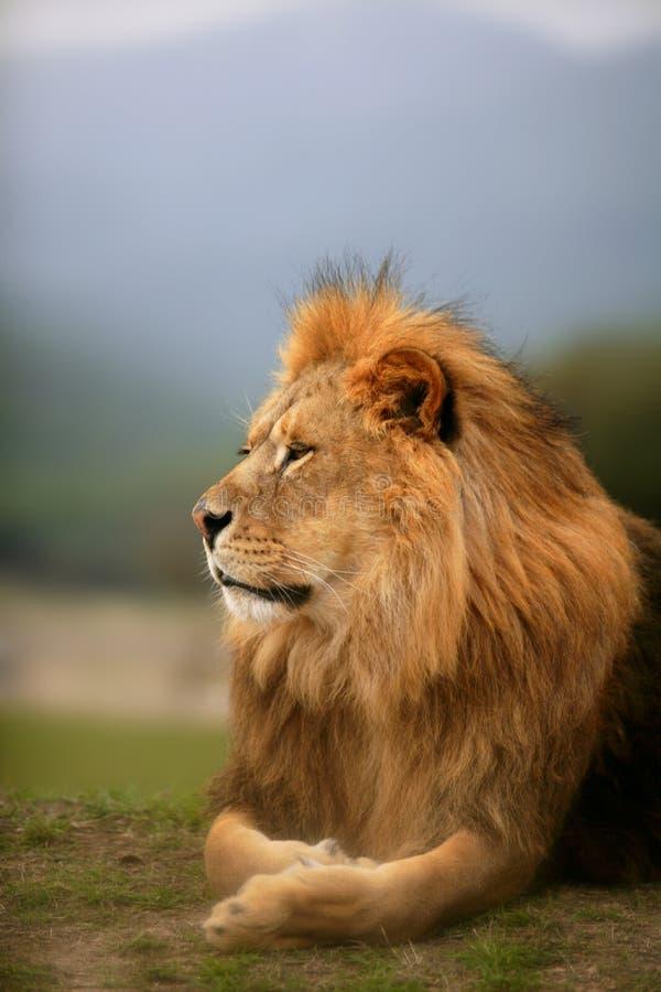 портрет животного красивейшего льва мыжской одичалый стоковая фотография rf