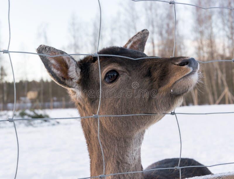 Портрет животных женских бело-замкнутых оленя плененных стоковое фото