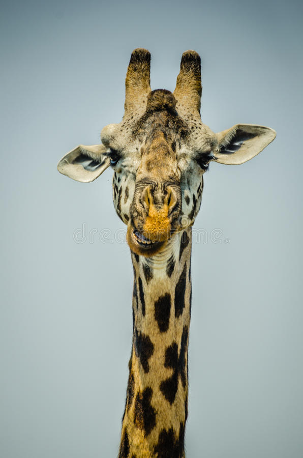 Download Портрет жирафа стоковое фото. изображение насчитывающей глаз - 33725432