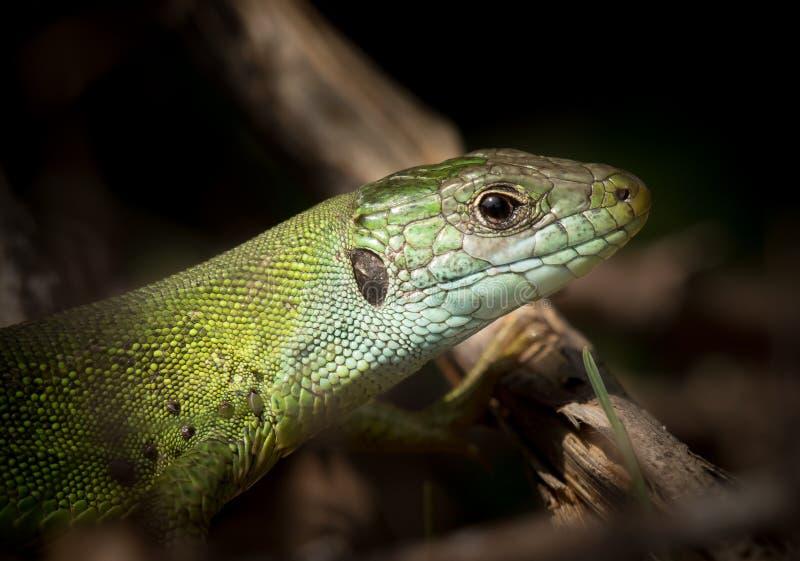 Портрет зеленой ящерицы отдыхая в солнце стоковая фотография