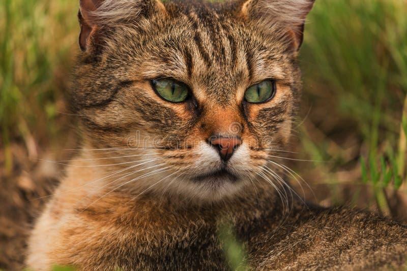 Портрет зелен-наблюданного кота в природе стоковая фотография