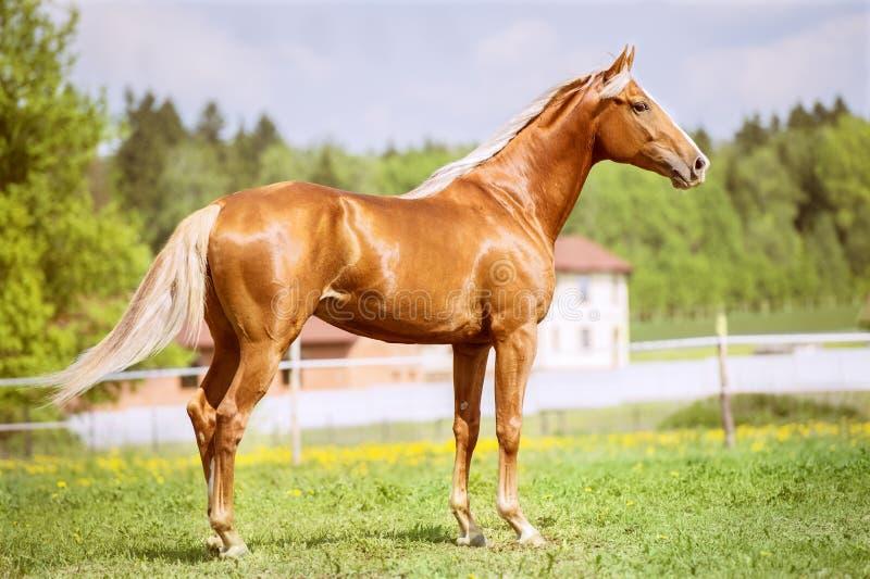Портрет золотой красной лошади в временени стоковое изображение