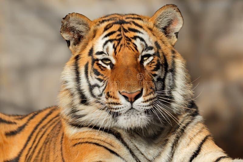 портрет изображения национального парка Бенгалии Индии снял принятого тигра стоковое фото