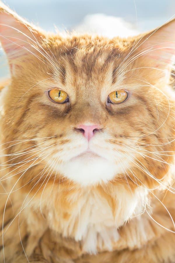 Портрет изумлять кот енота Мейна, конец вверх по взгляду, вертикальному взгляду стоковые фотографии rf