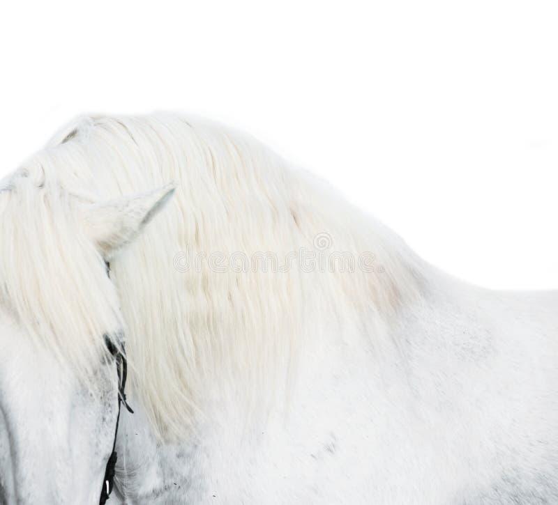 Портрет искусства белой лошади на белой предпосылке стоковое изображение rf