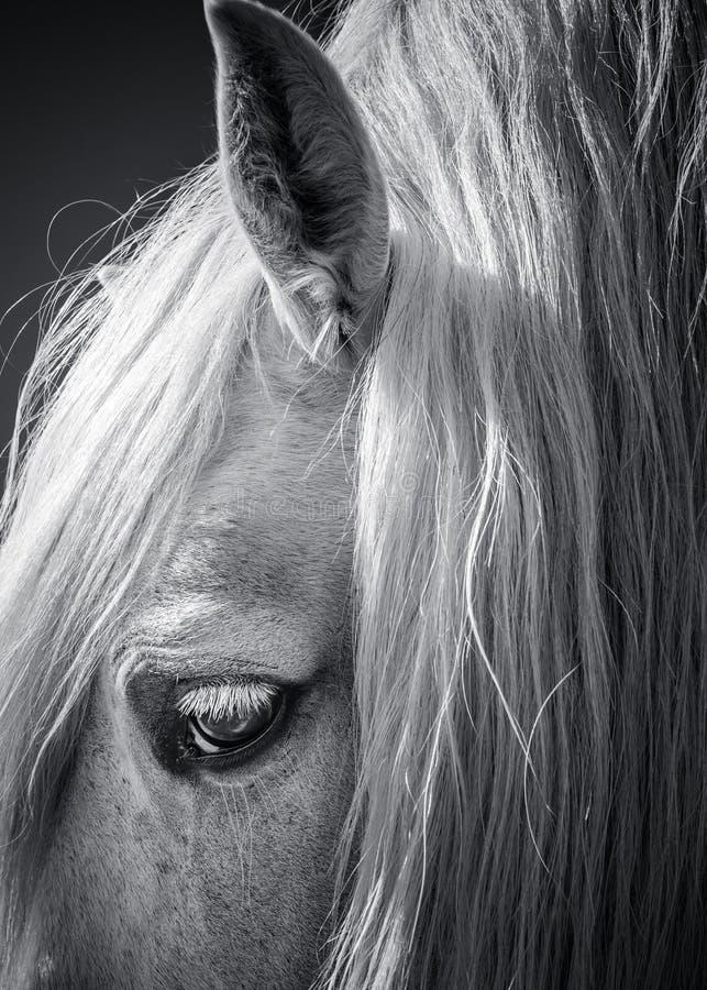 Портрет искусства белой лошади светотеневой стоковое изображение