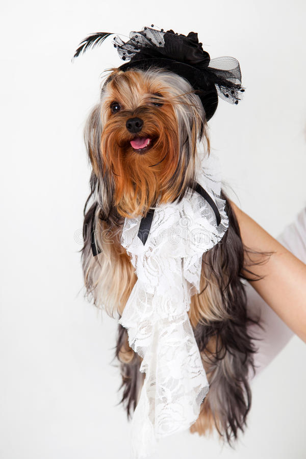 Портрет йоркширского терьера с шляпой стоковое фото rf
