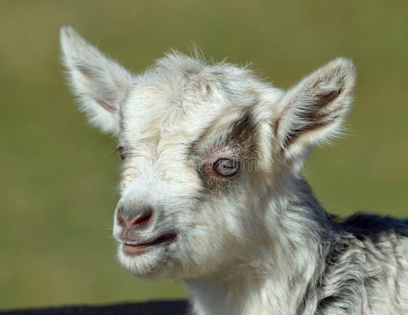 Портрет козы младенца стоковое изображение rf