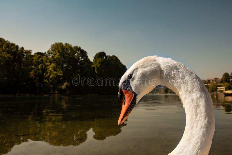 Портрет конца-вверх более большого белого лебедя стоковые фото