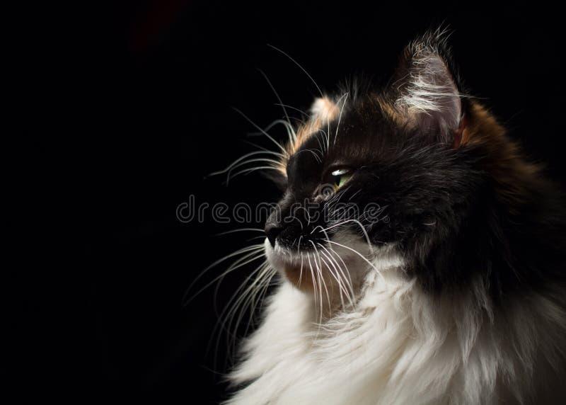 Портрет конца-вверх в профиле запятнанного кота стоковое изображение rf