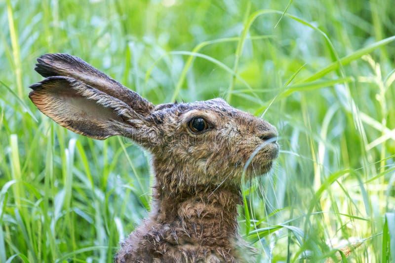 Портрет конца-вверх коричневых зайцев среди зеленой травы стоковое изображение rf