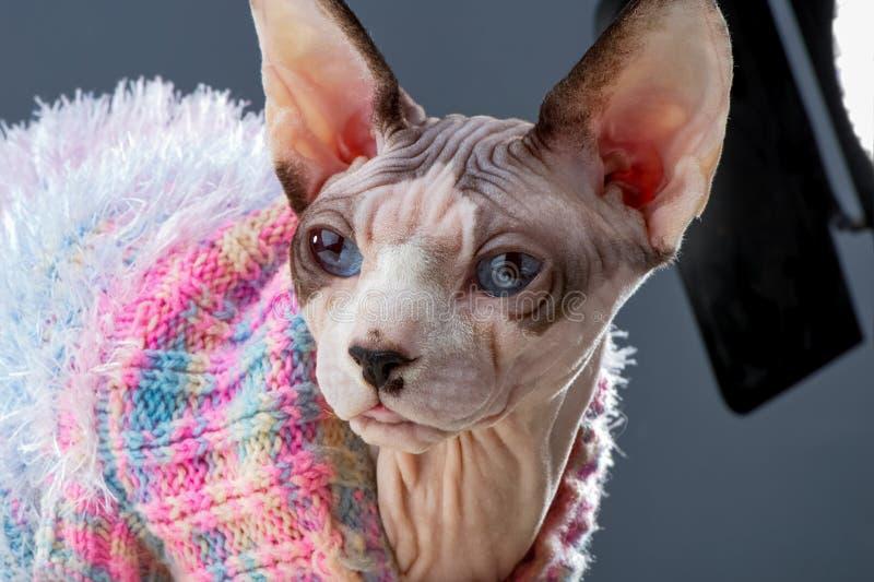Портрет конца-вверх кота Sphynx канадца в студии на серой предпосылке стоковое изображение rf