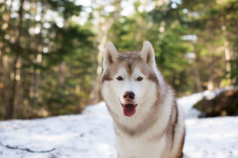 Портрет конца-вверх красивой бежевой и белой собаки сибирской лайки сидя в сезоне леса весной стоковое изображение