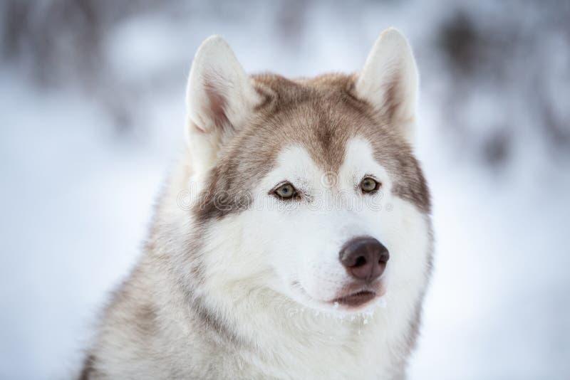 Портрет конца-вверх красивой, prideful и свободной сибирской сиплой собаки сидя на снеге в лесе феи в зиме стоковое фото