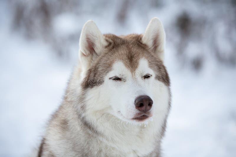 Портрет конца-вверх красивой, prideful и свободной сибирской сиплой собаки сидя на снеге в лесе феи в зиме стоковые изображения