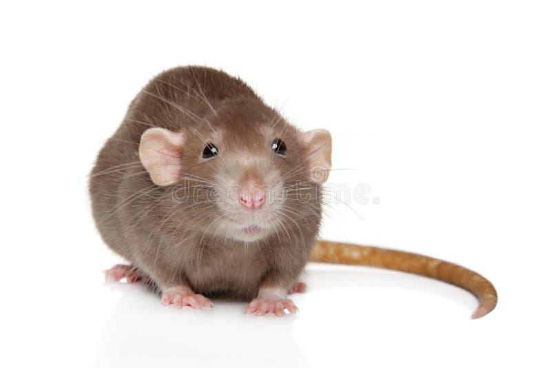 Портрет конца-вверх крысы Dumbo стоковое изображение rf