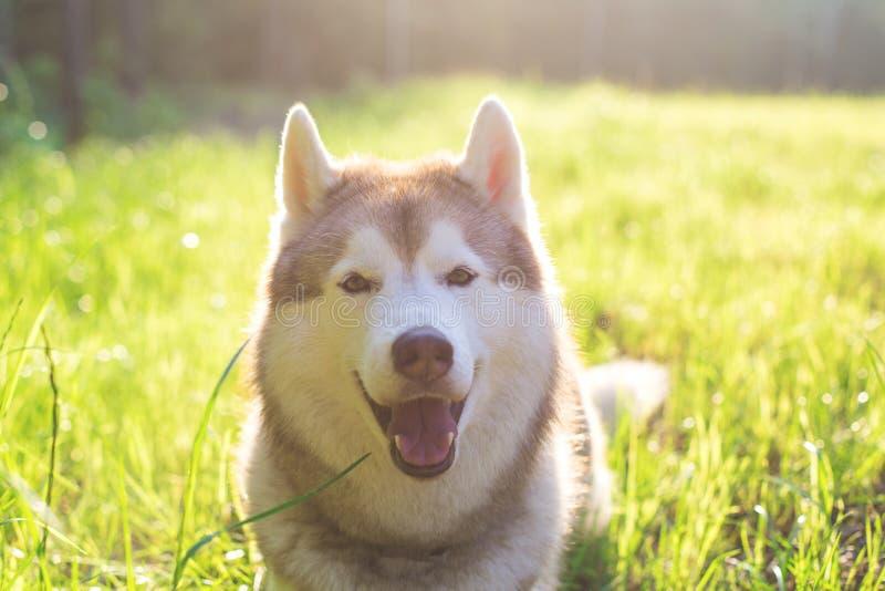 Портрет конца-вверх милой красивой бежевой и белой собаки сибирской лайки с коричневым цветом наблюдает лежать в зеленой траве на стоковая фотография