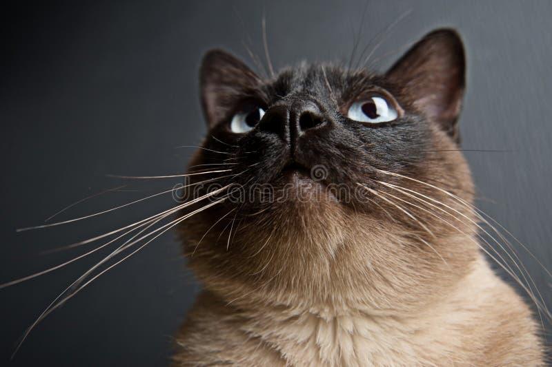 Портрет конца-вверх сиамского кота стоковая фотография rf