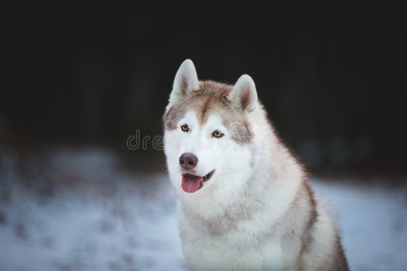 Портрет конца-вверх счастливой и свободной сибирской сиплой собаки сидя на пути снега в темном лесе в зиме стоковая фотография rf