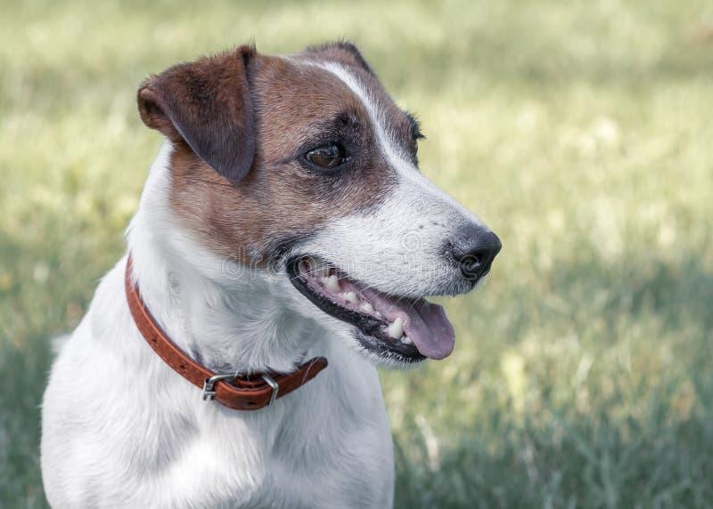 Портрет конца-вверх чистоплеменного милого молодого счастливого терьера Джек Рассела собаки сидя на траве и смотря право стоковые фото