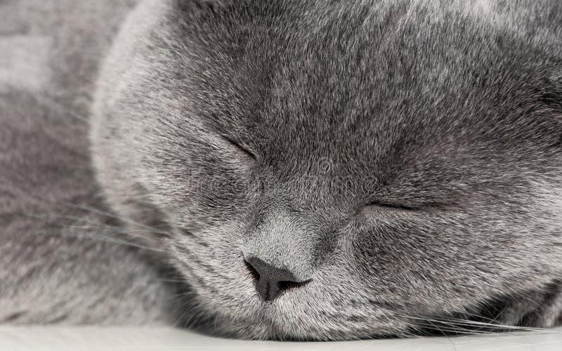 Портрет конца кота спать серого вверх стоковая фотография rf