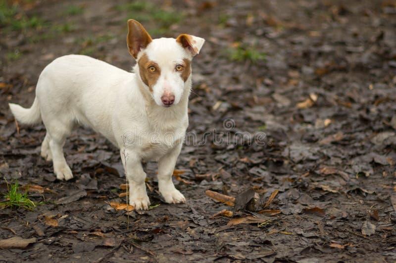 Портрет коренастой смешанной собаки породы готовой для того чтобы защитить свое отечество стоковые фото