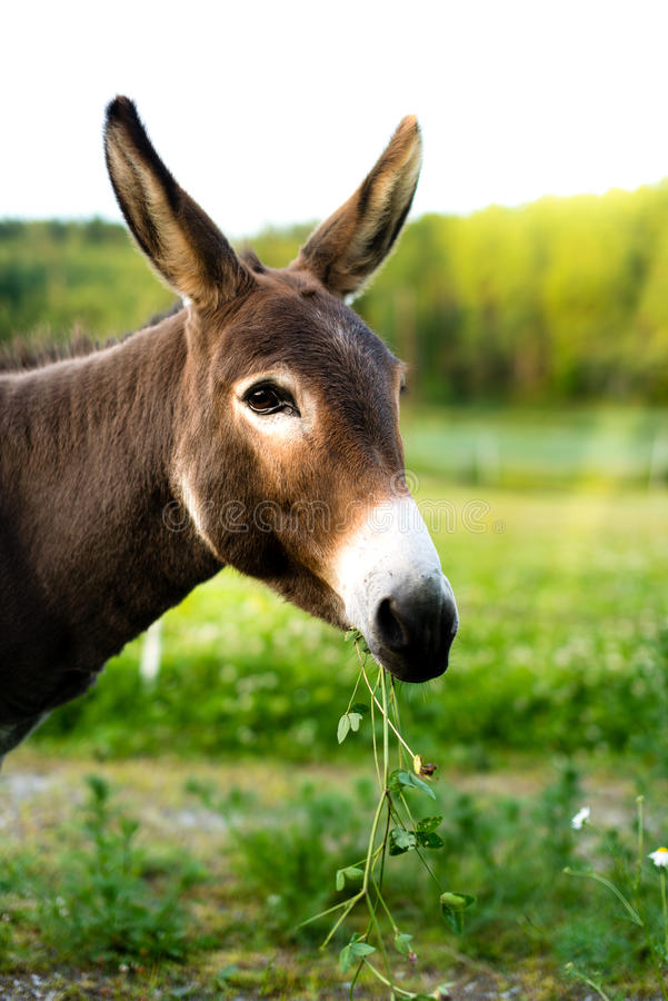Портрет коричневого осла снаружи в поле стоковые фотографии rf