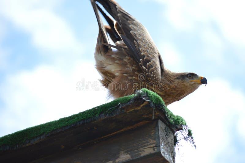 Портрет королевского орла, chysaetos Аквила представил в природном парке шахты Cabarceno старой для извлечения утюга 25-ое август стоковые фото