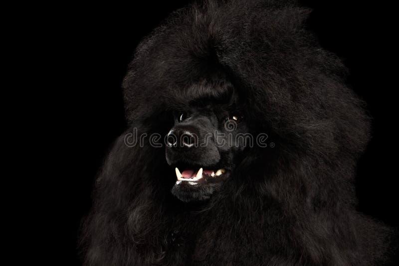 Портрет королевской собаки пуделя изолированной на черной предпосылке стоковое изображение