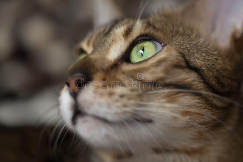 Портрет кота Бенгалии стоковое фото