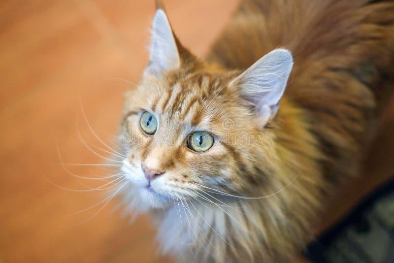Портрет кота, большого красивого и выразительного енота Мейна породы кота выглядит как камышовый кот с tassels на ушах стоковое фото rf