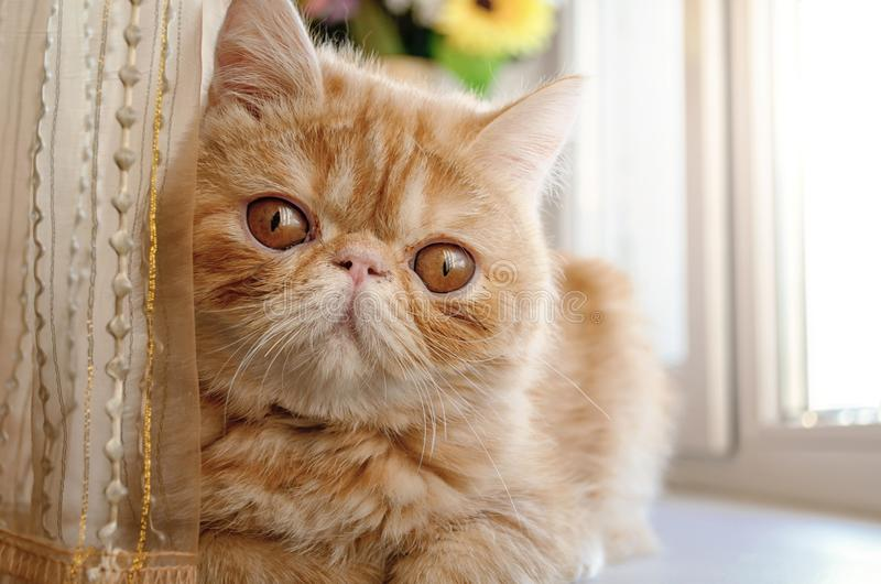 Портрет кота племенника молодого красного цвета на окне стоковое фото rf