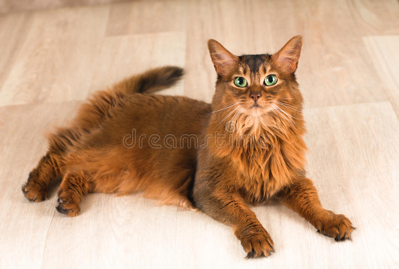 портрет кота сомалийский стоковое изображение