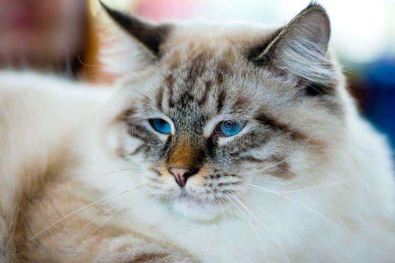 Портрет кота Ragamuffin стоковое изображение