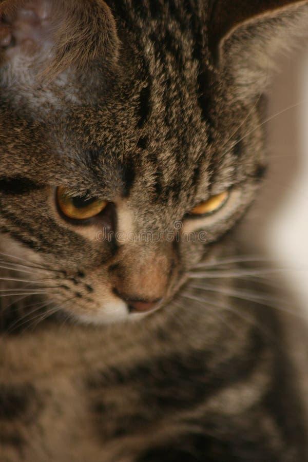 Портрет кота tabby коротких волос отечественного стоковые фото