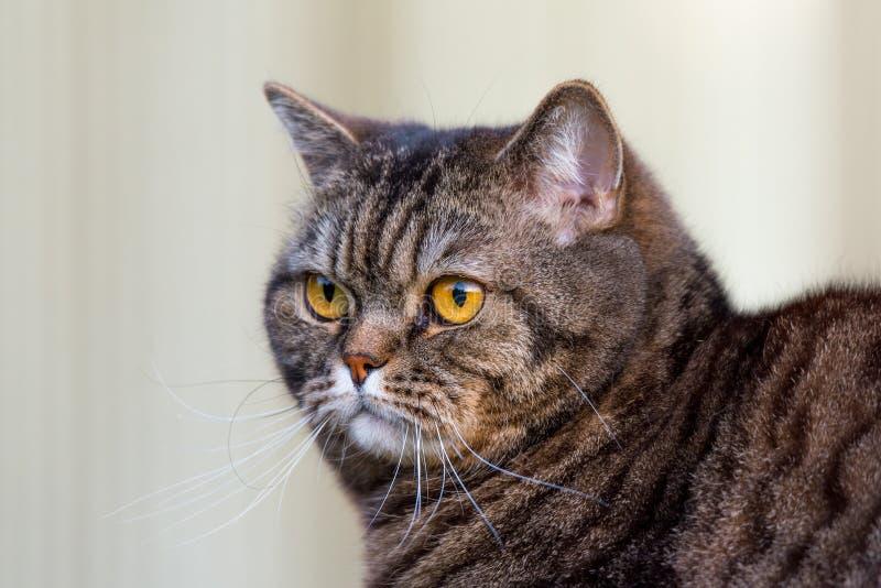 Портрет кота Tabby стоковое фото rf