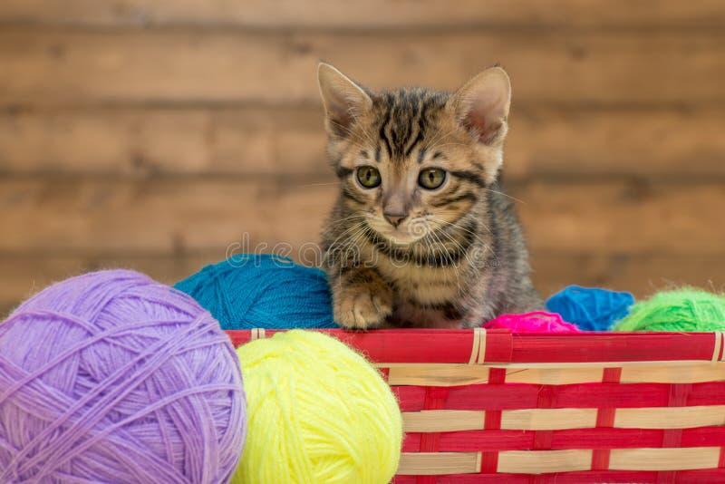 портрет котенка Бенгалии с шариками потока стоковые фотографии rf