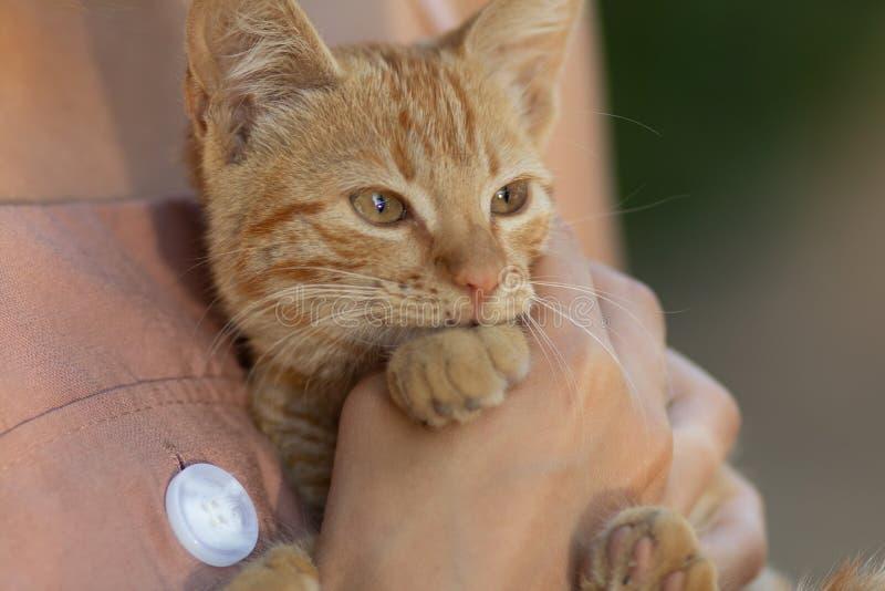 Портрет красивого красного кота в руках девушки, концептуального животного и людей стоковые фото