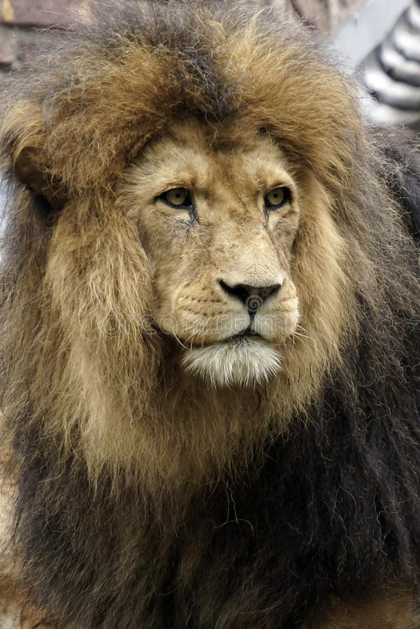Портрет красивого мужского африканского льва стоковое изображение rf