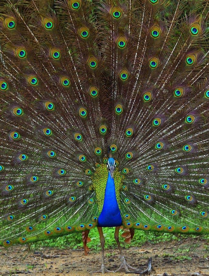 Портрет красивого павлина с пер вне стоковое изображение